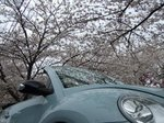 End of cherry blossoms